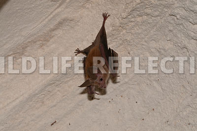 waterhouse_bat_hanging_8