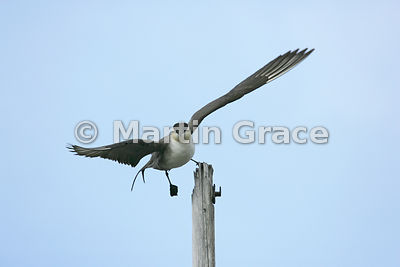 Long-Tailed Skua or Jaeger (Stercorarius longicaudus) stepping off its perching post to fly, Blomstrandhalvoya Island, Spitsb...