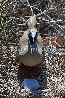 Red-Footed Booby (Sula sula websteri), panting with the heat, shades her single chick from the sun, Punta Pitt, San Cristobal...
