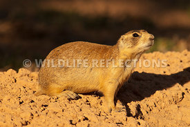 utah_prairie_dog_smelling