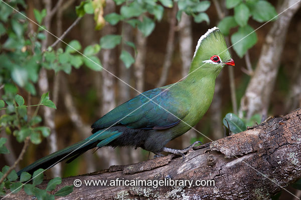 Knysna turaco, Tauraco corythaix, Wilderness, South Africa