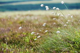 Cotton grass in the English Countryside.