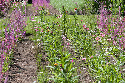 Rows of Limonium suworowii in the cutting garden at Cotehele, St Dominick, nr Saltash, Cornwall, UK