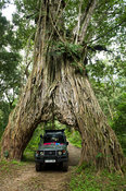 Safari vehicle driving through the fig tree arch of the wild fig Ficus thonninggii straddeling the road to Meru Crater, Arush...
