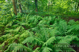 Deciduous forest with fern - Europe, United Kingdom, Scotland, Dumfries and Galloway, Rhins of Galloway, Kirkcolm - digital