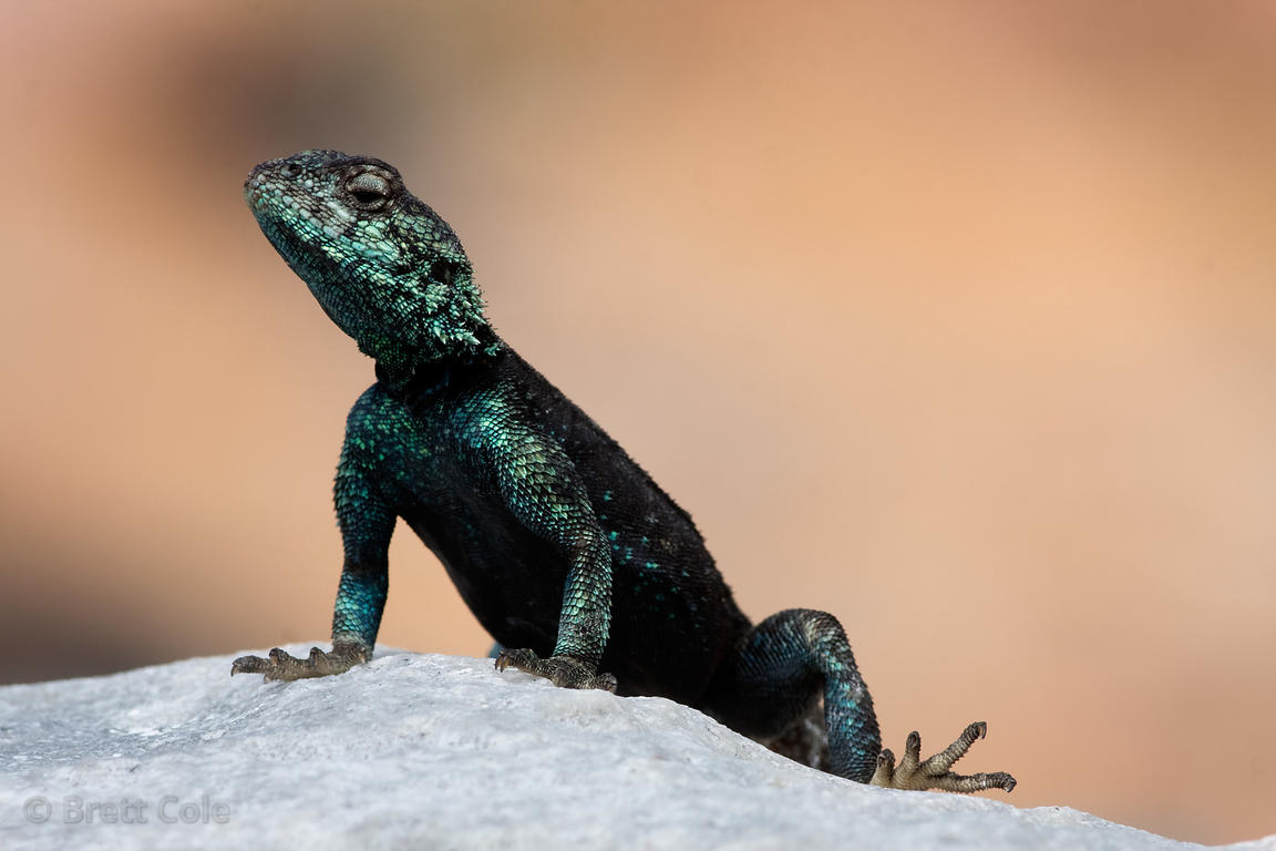 Male rock agama lizard (Agama atra) in mating colors, on the beach at the Cape of Good Hope, South Africa