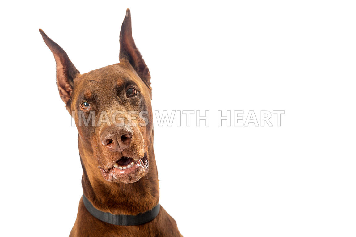 Images With Heart Red Doberman Pinscher Dog Closeup On White
