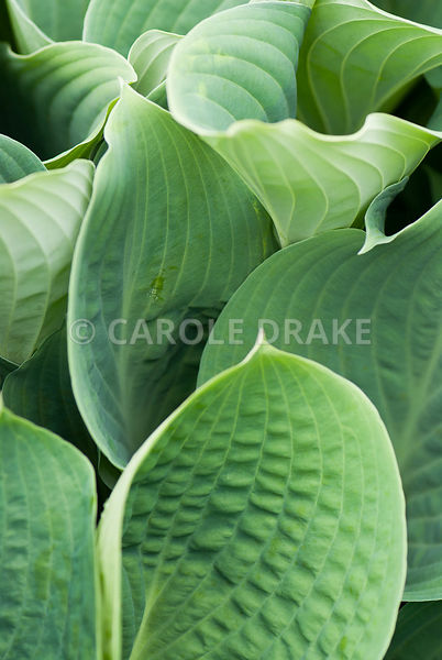 Ribbed hosta leaves. Caervallack Farm, St Martin, Helston, Cornwall, UK