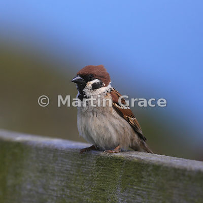 Eurasian Tree Sparrow (Passer montanus), Bempton Cliffs, North Yorkshire, England