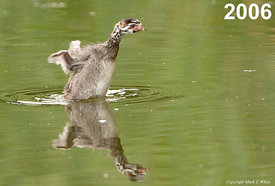 Front Cover - Pied-billed Grebe