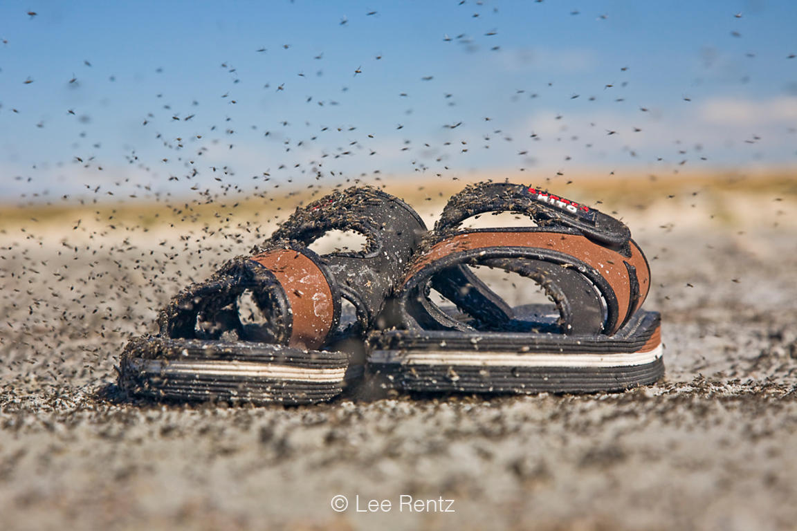 Brine flies (Ephydra spp.) swarming on and around abandoned sandals (undoubtedly abandoned because of the flies!) at the edge...