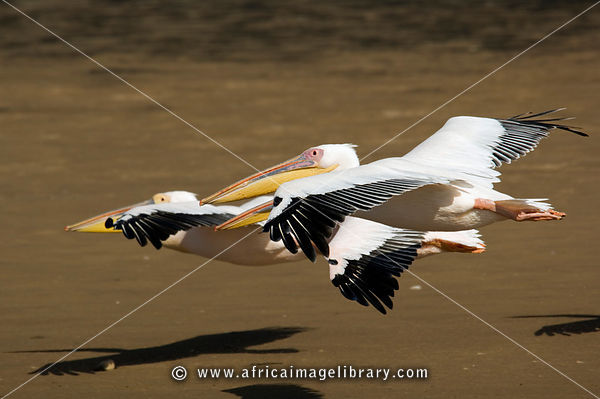 Great white pelicans flighing (Pelecanus onocrotalus), Walvis Bay, Namibia