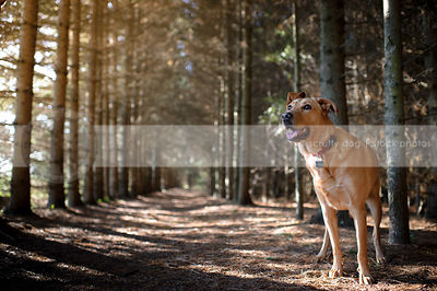 red mixed breed dog standing in pine tree forest with sunlight