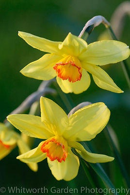 Historical Narcissus – Daffodil. © Jo Whitworth
