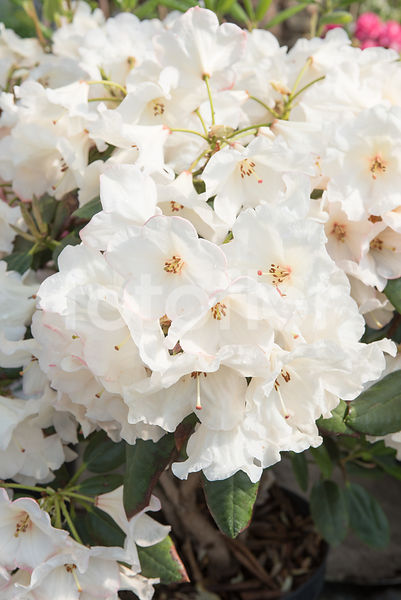 Rhododendron 'Virginia Richards', rhododendron, blanc