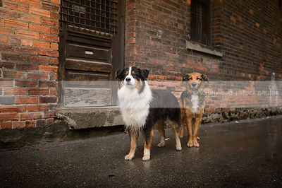 two wet dogs standing at door of urban brick wall in rain