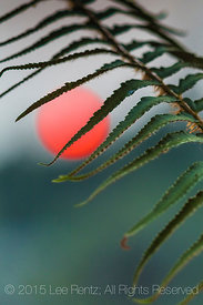 Western Sword Fern Frond with Blood Red Setting Sun Colored By Smoke from Forest Fires