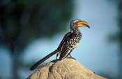 Southern Yellow-billed hornbill sitting on a termite mound, Tockus leucomelas, Hwange National Park, Zimbabwe
