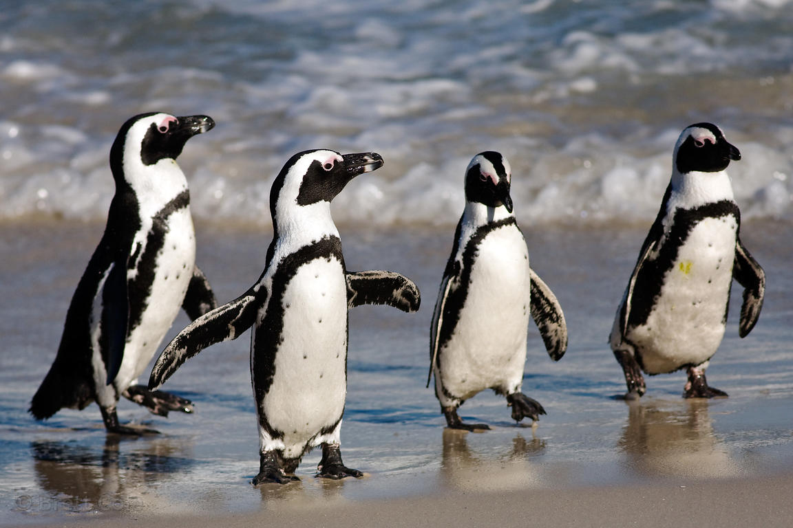 African penguins (Spheniscus demersus) in ocean surf, Boulders Beach, South Africa
