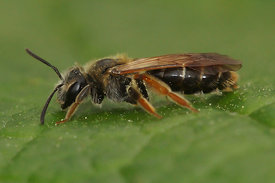 Andrena chrysoceles, female