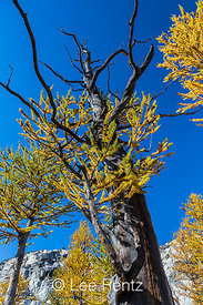 Struggling Alpine Larch (aka Subalpine Larch and Lyall's Larch) (Larix lyallii) in The Enchantments, Cascade Range, Okanogan-...
