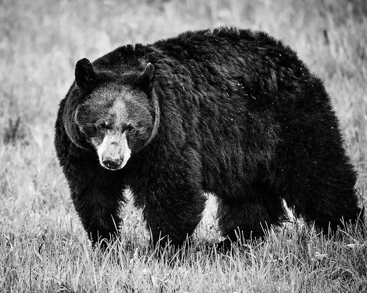 5624-Ours_bruns_du_Yellowstone_Wyoming_2014_Laurent_Baheux