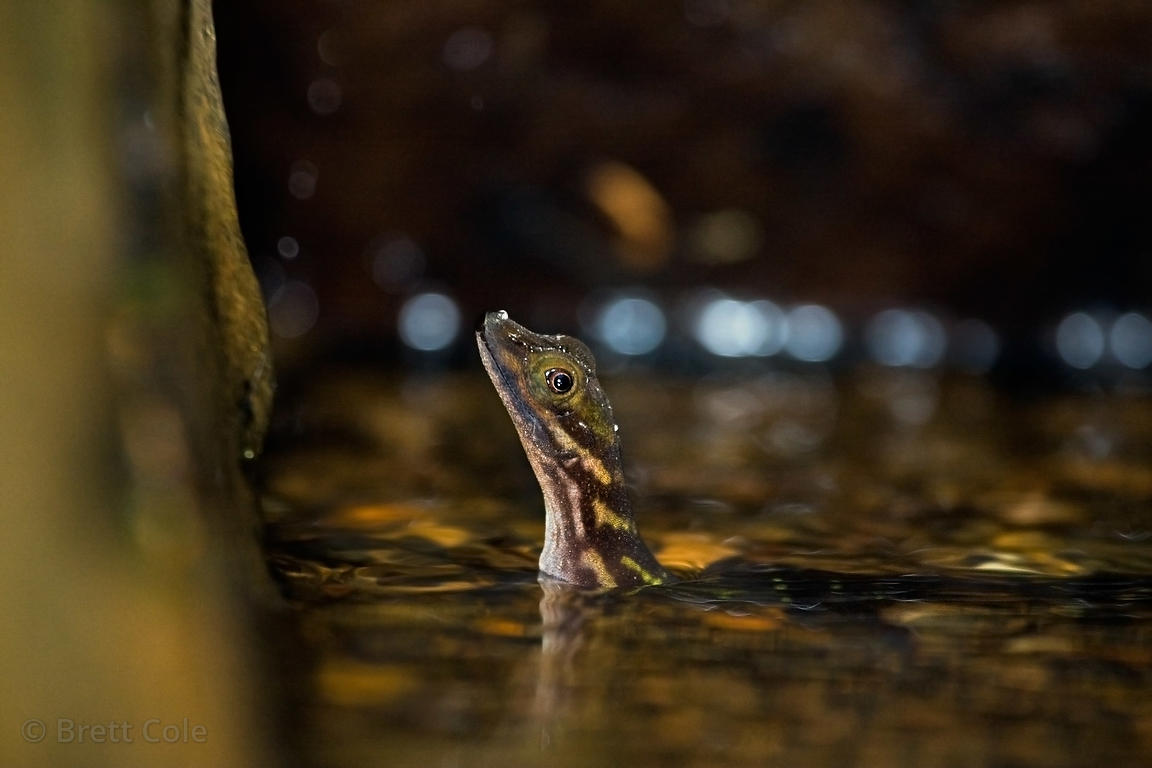 A gecko? (sp.) plays dead in the shallows of a small stream, Las Nubes, Costa Rica