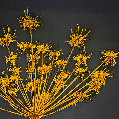 Yellow_and_grey_cow_parsley