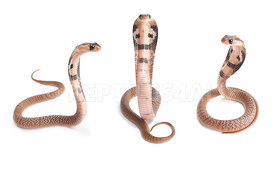 Indian cobra, Naja naja babies