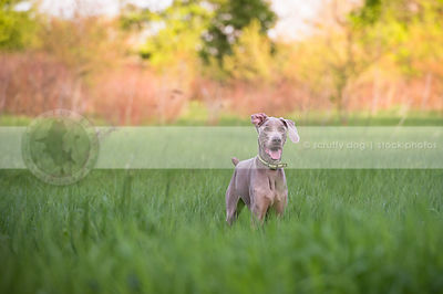 grey dog with flipped ear waiting with anticipation in field