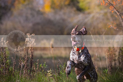 crazy brown speckled dog bounding running in meadow