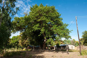 Tree under which Dr Livingstone camped in 1863, Nkhotakota, Malawi