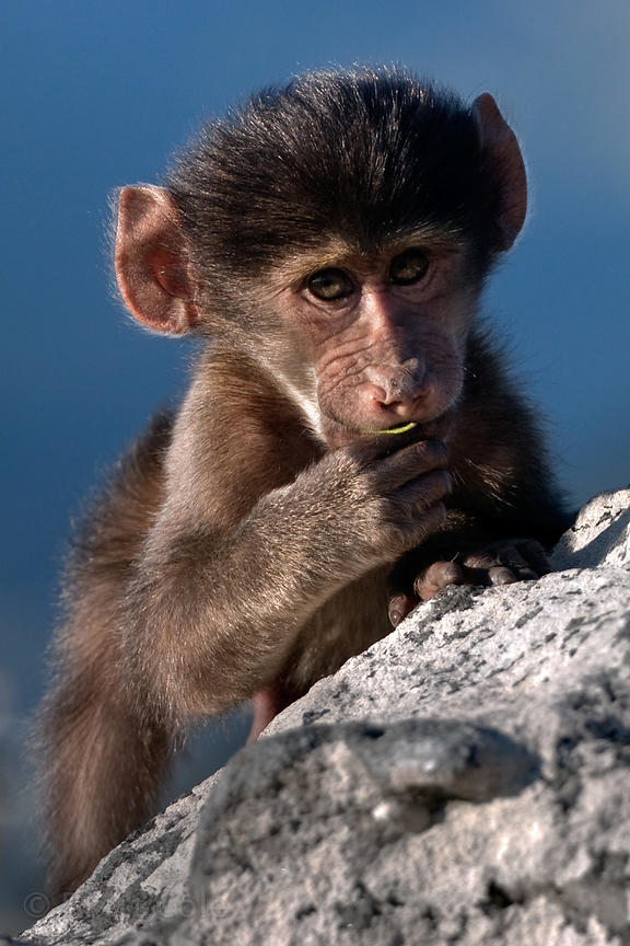 Baby chacma baboon from the Slangkop troop, Cape Peninsula, South Africa