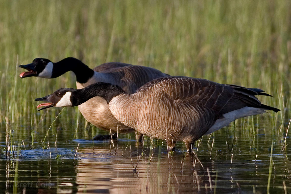 Canada geese (Branta canadensis) fighting with each other in the West Eugene Wetlands, Willamette Valley, Oregon