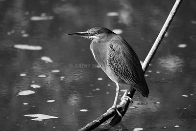 black and white kingfisher