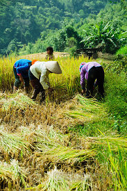 Cutting Rice Stalks To Dry in the Sun