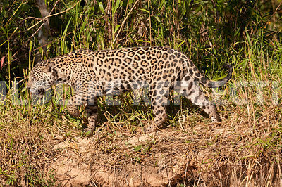 jaguar_riverbank_stroll-23