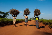 women carrying wood, Lujeri tea estate, Mulanje, Malawi