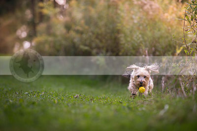 little morkie dog fetching ball running fast in mowed grass in park