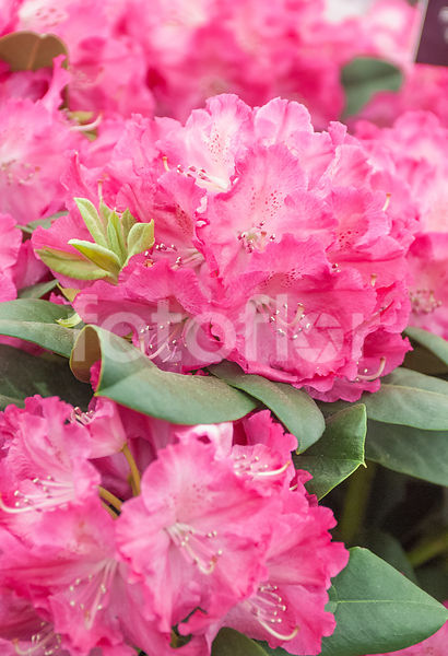 Rhododendron 'Germania', rhododendron, rose
