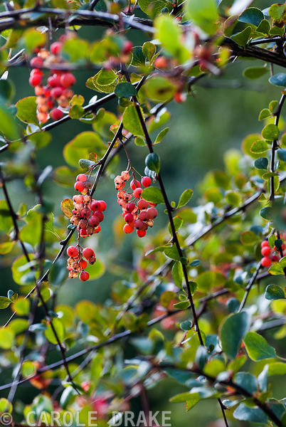 Berberis berries. Exbury Gardens, Exbury, Hants, UK
