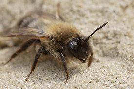 Andrena nycthemera female at Durmplassen, Merendree (2013/04/08)
