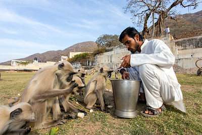 A man feeds langur monkeys at the Panch Kund temple complex, Pushkar, Rajasthan, India