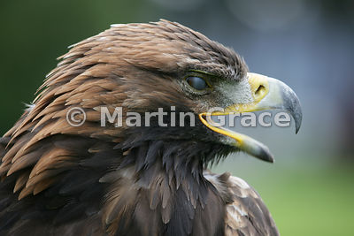 Golden eagle (Aquila chrysaetos) with its protective translucent nictitating membrane (third eyelid or haw) covering most of ...