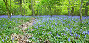 Bluebells at Eastham Country Park
