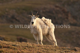 mountain_goat_glow