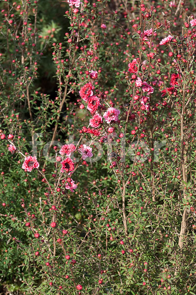 Leptospermum scoparium 'Nanum', rose