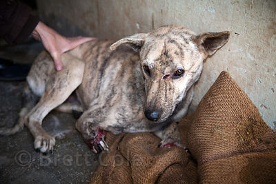Staff at the Tree of Life for Animals rescue center in Pushkar, India treat a dog from nearby Ajmer that was hit by a train, ...
