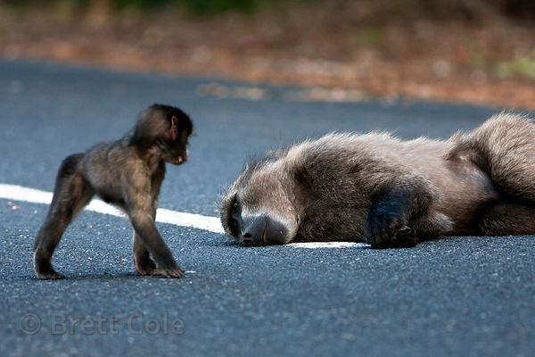 Chacma baboons from the Plateau Road troop play with each other, Cape Peninsula, South Africa