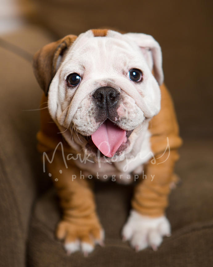 Close-up of Happy Tan and White Bulldog Puppy Sitting on Couch